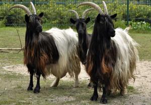 Фото, описание Валлийской козы с черной шеей, характеристика для домашнего разведения и содержания.