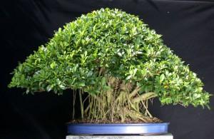 Правильная почва для посадки и выращивания японского бонсай в домашних, комнатных условиях. Полная инструкция.