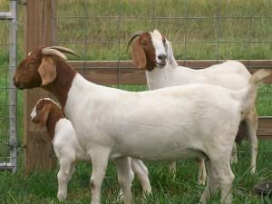 Самая лучшая мясная порода коз - Бурская, фото, описание, характеристика для домашнего разведения и содержания.