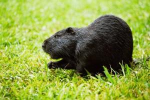 Фото, описание, характеристика черной породы нутрий для домашнего разведения и содержания.