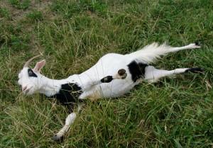 Фото, описание Обморочной породы коз, характеристика для домашнего разведения и содержания.