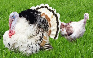Фото, описание, серебристой северо-кавказской индейки, характеристика для домашнего содержания и разведения.