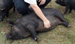 Фото, описание гвинейской породы свиней, характеристика для домашнего разведения.