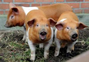 Фото, описание датской протестующей породы свиней, характеристика для домашнего разведения.