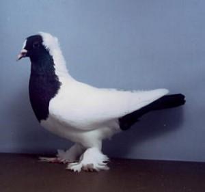 Фото, описание красивой породы немецких черноголовых голубей, характеристика для домашнего разведения.