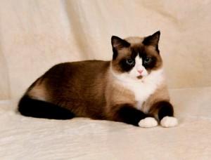 Фото, описание кошек породы Сноу-Шу, характеристика для домашнего разведения и содержания.