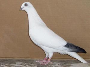 Фото, описание Саксонской породы аистовых голубей, характеристика для домашнего разведения.