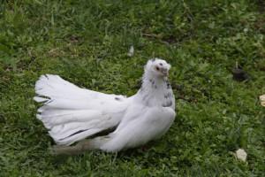 Фото, описание аккерманской породы голубей, характеристика для домашнего разведения.