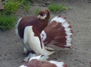 Фото, описание породы голубей Алтайского края, характеристика для домашнего разведения.