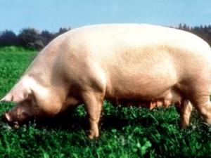 Фото, описание Брейтовской породы свиней, характеристика для домашнего разведения.