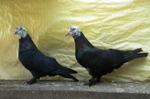 Фото, описание голубей породы Чили, характеристика для домашнего разведения.