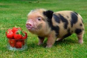 Фото, описание породы Геттингенской миниатюрной свиньи, характеристика для домашнего разведения.