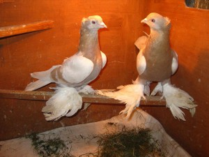 Фото, описание голубей породы Агараны, характеристика для домашнего разведения.