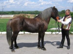 Фото, описание породы Гуцульского пони (гуцул), характеристика для домашнего разведения.