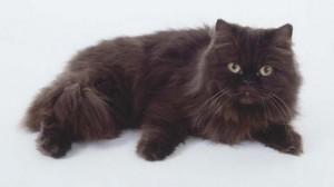 Фото, описание кошек породы Йоркская шоколадная, характеристика для домашнего разведения и содержания.