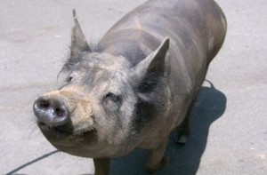 Фото, описание породы Мексиканской лысой свиньи, характеристика для домашнего разведения.