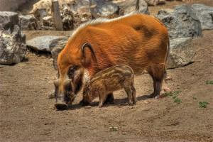 Фото, описание кистеухой породы свиней, характеристика.