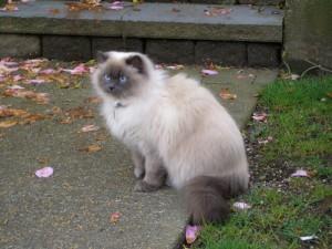 Фото, описание породы кошек Гималайская, характеристика для домашнего разведения.