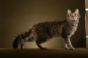Фото, описание кошек породы Ла-Перм, характеристика для домашнего разведения и содержания.