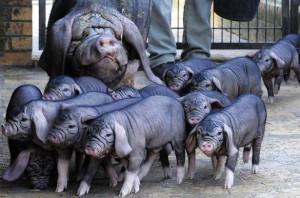 Фото, описание породы свиней Мейшан, характеристика для домашнего разведения и содержания.