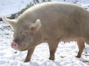 Фото, описание сибирской северной породы свиней, характеристика для домашнего разведения и содержания.