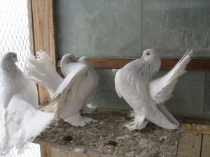 Фото, описание породы - статные голуби, характеристика для домашнего разведения и содержания.