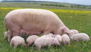 Фото, описание украинской крупной степной белой свиньи, характеристика для домашнего разведения.