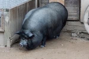 Фото, описание вьетнамской вислобрюхой свиньи, характеристика для домашнего разведения и содержания.