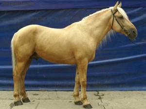 Фото, описание лошади белорусской упряжной породы, характеристика для домашнего разведения.