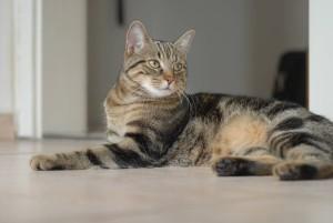 Фото, описание бразильской короткошерстой кошки, характеристика для разведения и содержания.