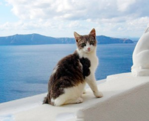 Фото, описание эгейской породы кошек, характеристика для домашнего разведения.