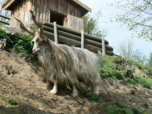Фото, описание коз породы Гиргентана, характеристика для домашнего разведения.