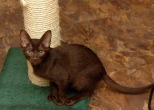 Фото, описание кошки породы Гавана Браун, характеристика для домашнего разведения и содержания.