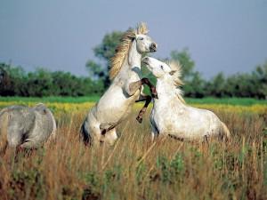 Фото, описание лошадей породы Камаргу, характеристика.