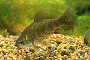 Правильные условия содержания рыб карасей для выращивания в домашних условиях. Фото, описание.