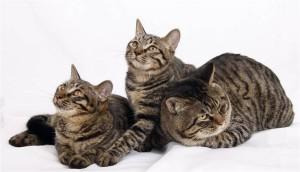 Фото, описание китайской кошки породы Ли Хуа, характеристика для домашнего разведения.