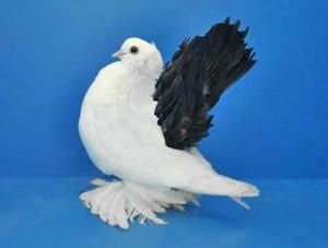 Фото, описание голубей породы Новочеркасские чернохвостые, характеристика для разведения.