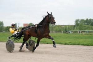Фото, описание лошадей породы русская рысистая, характеристика для домашнего разведения.