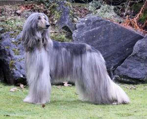 Фото, описание собак породы Афганская борзая, характеристика для разведения и содержания дома.