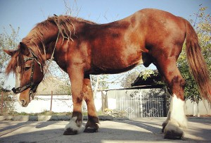 Фото, описание лошади породы Советский тяжеловоз, характеристика.