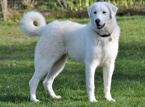 Фото, описание собак породы Акбаш, характеристика для разведения дома.