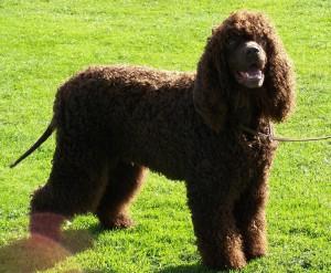 Фото, описание собак породы Американский водяной спаниель, характеристика для домашнего разведения и содержания.