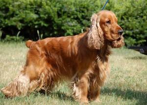 Фото, описание собак породы Английский кокер-спаниель, характеристика для разведения и содержания дома.