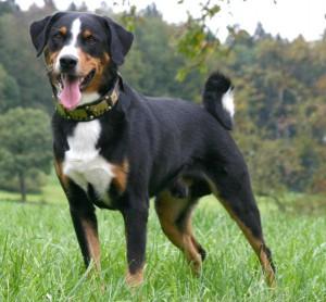 Фото, описание породы собак Аппенцелльская горная собака, характеристика для разведения и содержания дома.