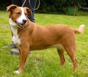 Фото, описание собак породы Австрийский короткошерстный пинчер, характеристика для разведения дома.