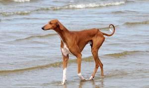 Фото, описание собак породы Азавак, характеристика для разведения и содержания дома.