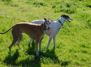 Фото, описание собак породы Банджарская борзая, характеристика для разведения и содержания.