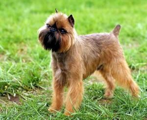 Фото, описание собак породы брюссельский гриффон, характеристика для домашнего разведения и содержания.