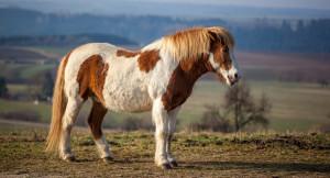 Фото, описание исландской породы лошадей, характеристика.