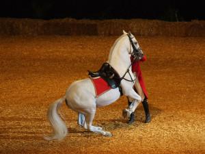 Фото, описание лошади породы Липпицианская, характеристика жеребца.